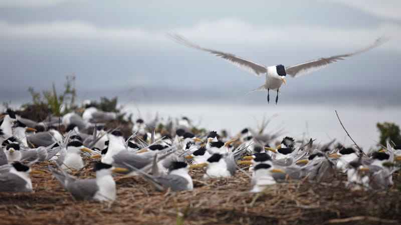 Crested terns, Montague Island Nature Reserve. Photo: Mike Rossi