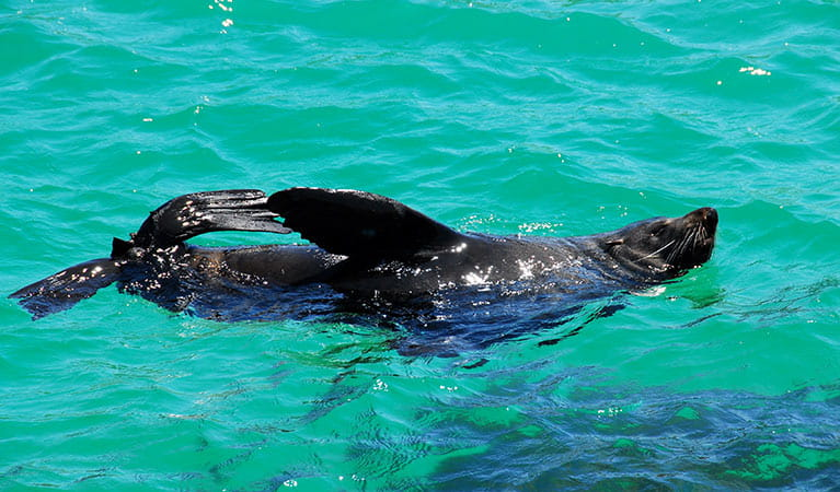 An Australian fur seal frolicks in the sea at Montague Island Nature Reserve. Photo: Stuart Cohen/OEH