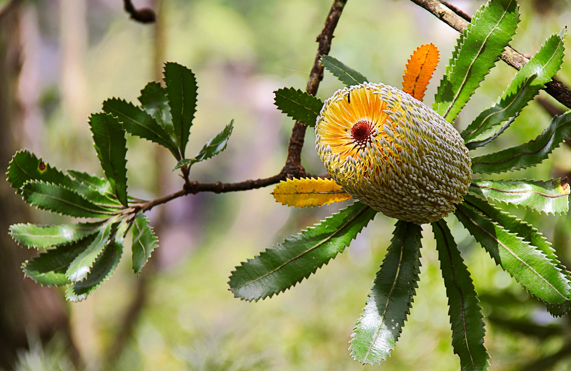Banksia flower. Photo:John Yurasek