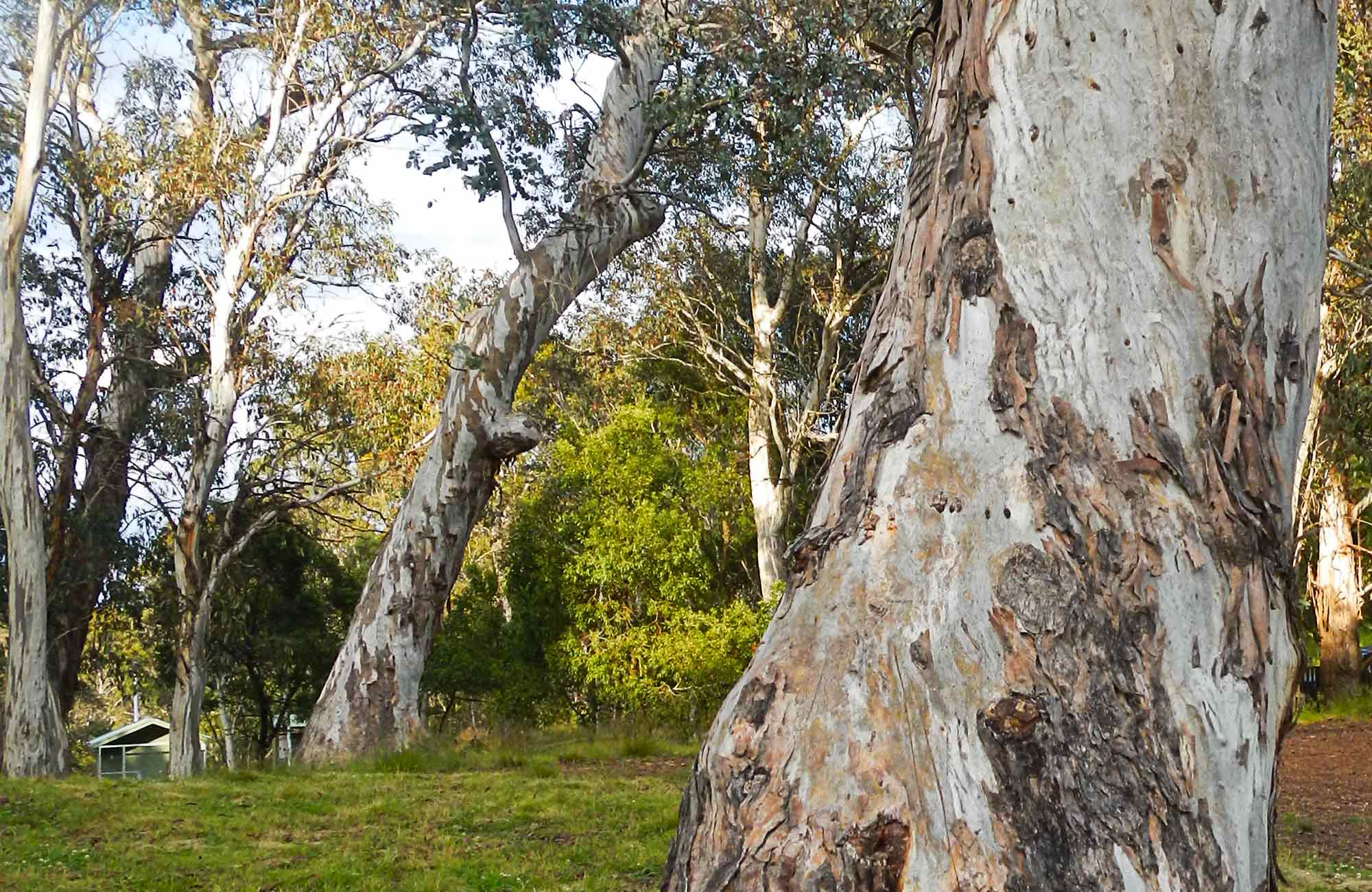 Gum trees. Photo:Debby McGerty