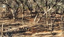 Ngiyambaa Walking Track, Mount Grenfell Historic Site. Photo: NSW Government