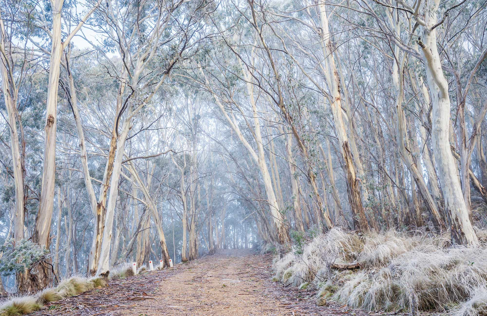 Light dusting of snow on trees in winter, Mount Kaputar National Park. Photo: Simone Cottrell/OEH