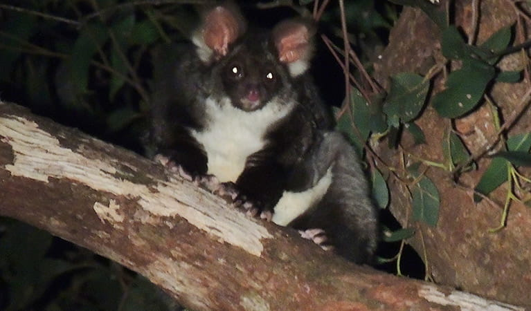 A greater glider sits on a tree branch at night in Mount Kaputar National Park. Photo: Lachlan Copeland/OEH