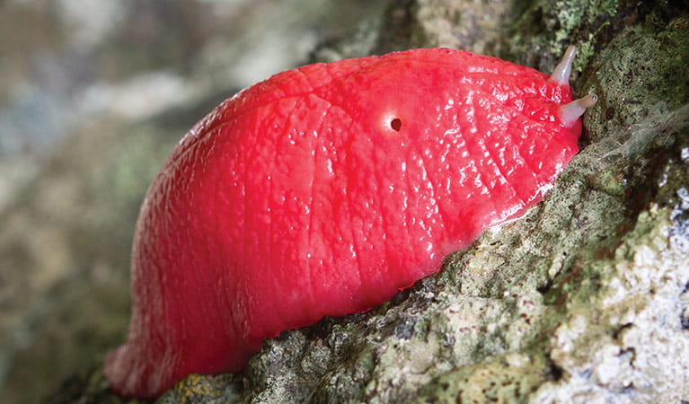Close-up of a giant pink slug on a rock, Mount Kaputar National Park. Photo: Robert Cleary/DPIE