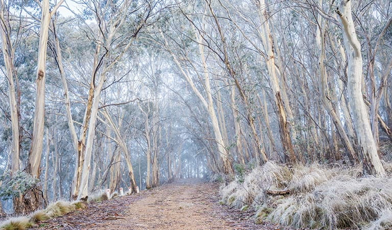 A light dusting of snow lines the vegetation at Mount Kaputar near Eckford's carpark. Photo: Simone Cottrell/OEH