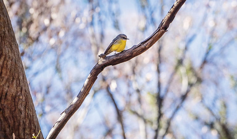 Eastern yellow robin perched on branch in Mount Kaputar National Park. Photo: Simone Cottrell/OEH
