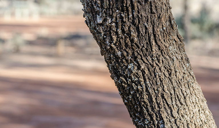 Close up of a tree in Belah campground, Mungo National Park. Photo: John Spencer/DPIE