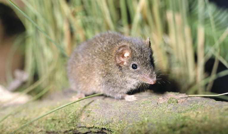 Brown antechinus. Photo: Ken Stepnell