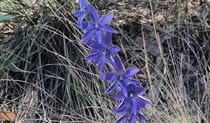Dotted sun orchid, Muogamarra Nature Reserve. Photo: Kevin Westren