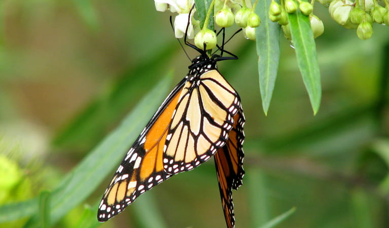 Monarch butterfly at Muogamarra Nature Reserve. Photo: Tegan Burton