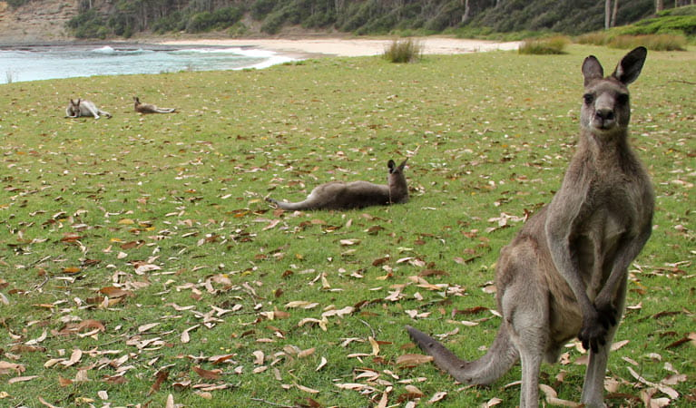 Eastern grey kangaroos in Murramarang National Park. Photo: OEH/John Yurasek