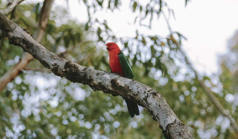 King parrot at Pebbly Beach in Murramarang National Park. Photo: David Finnegan/DPIE