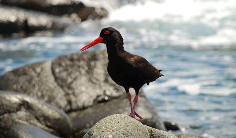 Sooty oystercatcher at Depot Beach, Murramurang National Park. Photo: Michael Jarman