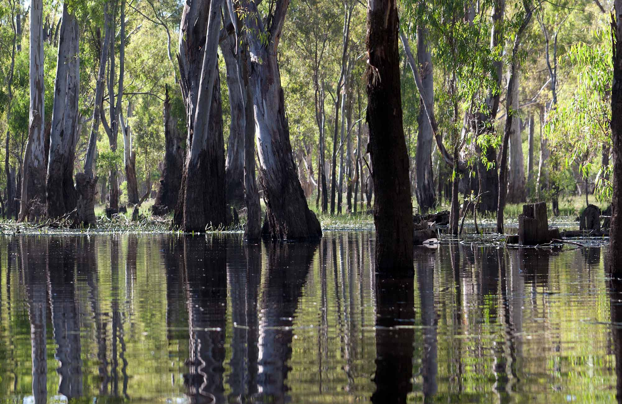 Gum trees reflecting in the river. Photo:David Finnegan
