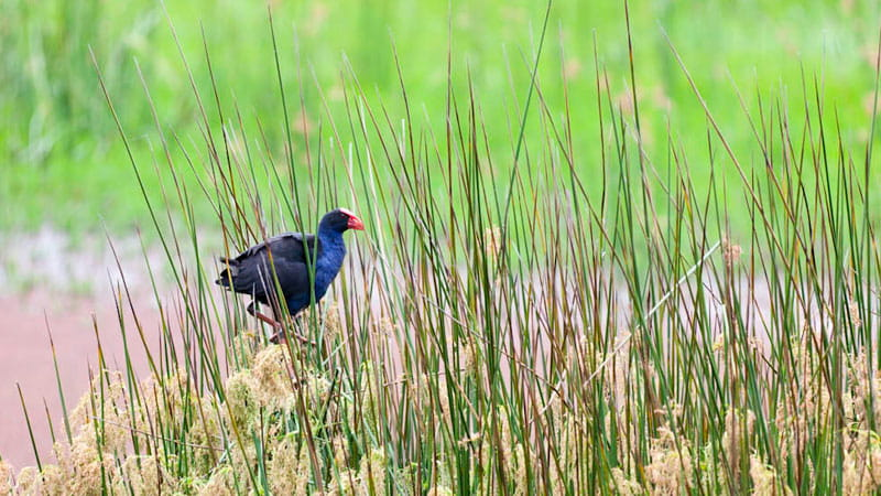 Bird in reeds. Photo: David Finnegan