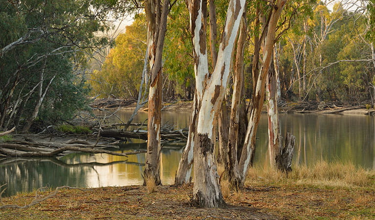 River red gums along the Murrumbidgee River at Wooloondool campground in Murrumbidgee Valley National Park. Photo: Gavin Hansford © DPIE