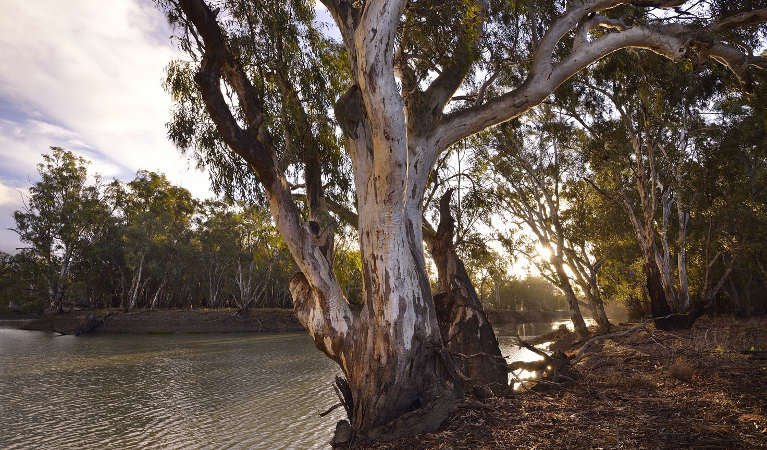 View of Murrumbidgee River with large gum tree in the foreground.  Photo: Gavin Hansford/OEH.
