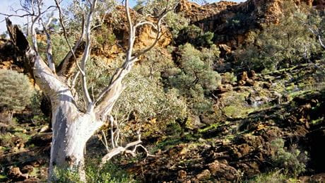 A gum tree in a desert setting, Mutawintji National Park. Photo: Stuart Cohen