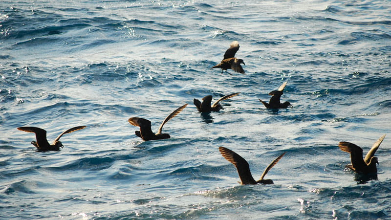 White-faced storm petrels. Photo: Michael Jarman