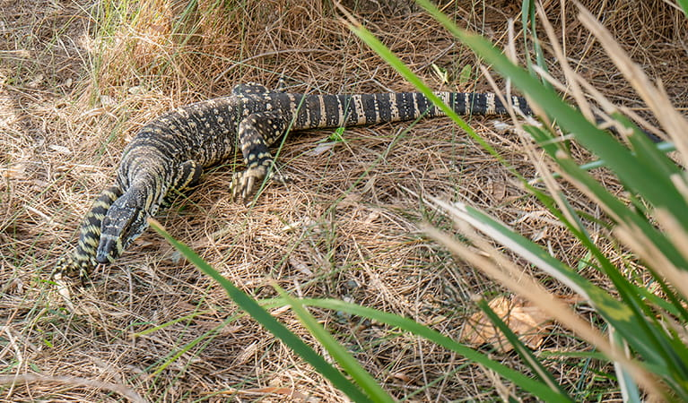 Lizard in the grass at Bungarie Bay campground. Photo: John Spencer/OEH