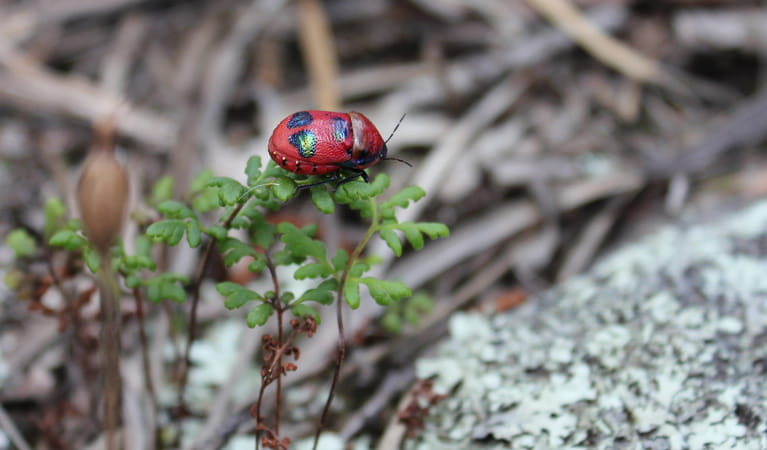 Nangar National Park, cheilanthes sieberi and cotton harlequin bug. Photo: Silvana Keating/NSW Government