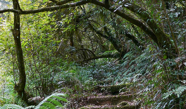 Lyrebird walking track, New England National Park. Photo: H Clark