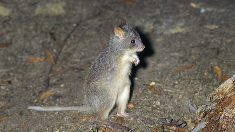 Rufous bettong. Photo: Ken Stepnell © DPIE