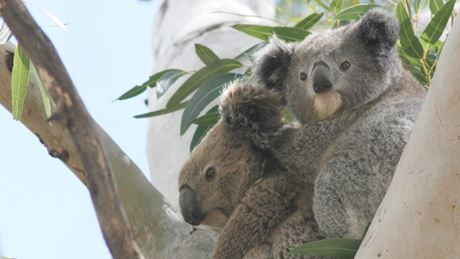 2 koalas sitting in a tree. Photo: D Lunney