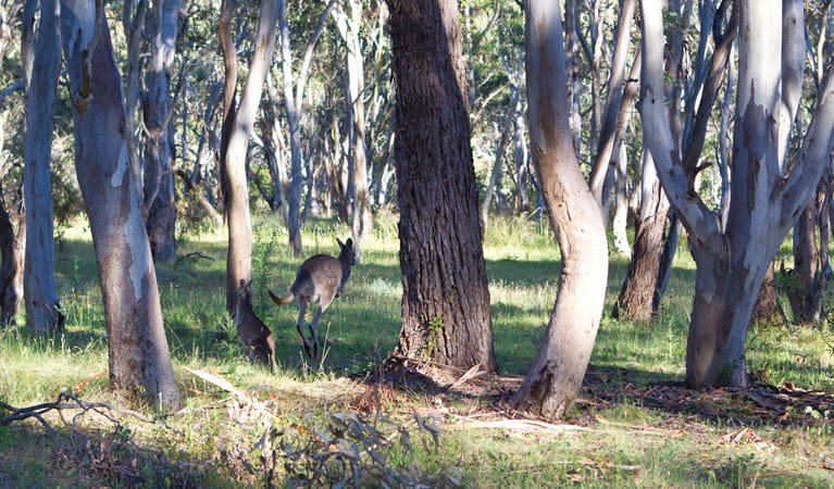 Kangaroo hopping through the trees. Photo: Rob Cleary/DPIE