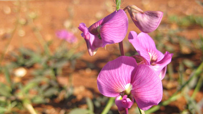 Darling pea, Paroo-Darling National Park. Photo: Julieanne Doyle © DPIE