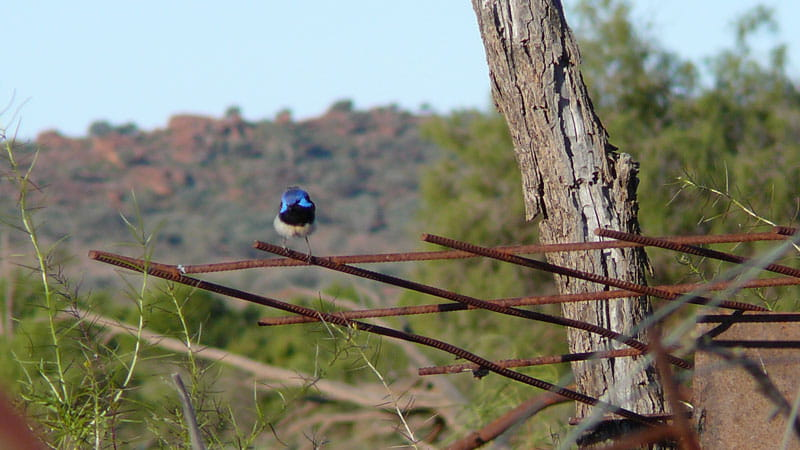Fairy wren, Paroo-Darling National Park. Photo: Luke Doyle