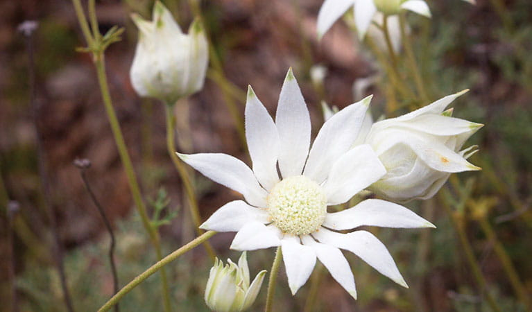 Flannel flowers in Pilliga National Park. Photo © Robert Cleary