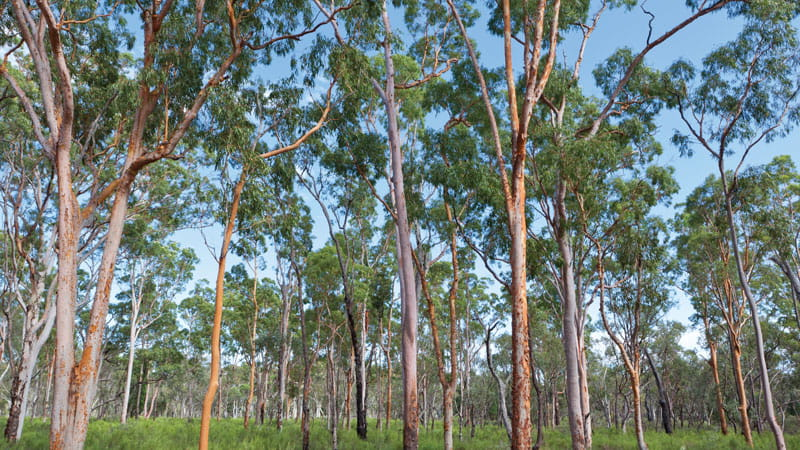 Pilliga forest, Pilliga National Park. Photo: Rob Cleary