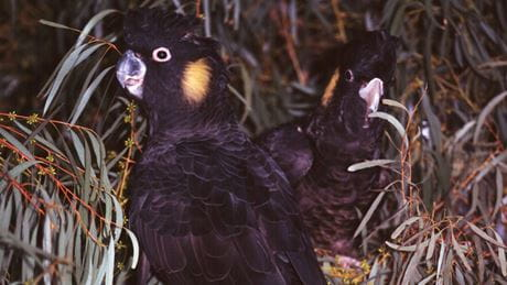 Black cockatoos. Photo: K Stepnell