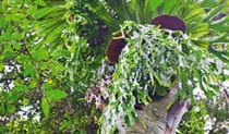 Birds Nest Fern, Richmond Range National Park. Photo: T Worden, NSW Government