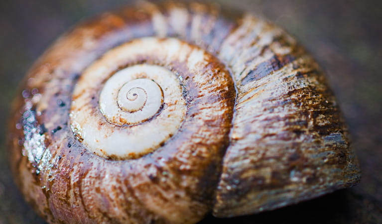 Rainforest Snail, Culmaran Loop, Richmond Range National Park. Photo: T Worden/NSW Government