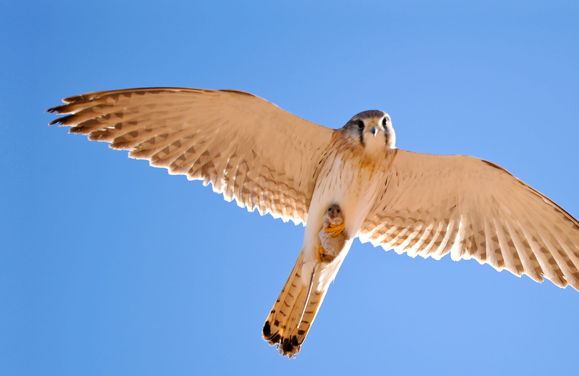 Nankeen Kestrel with Mouse, Sturt National Park. Photo: OEH