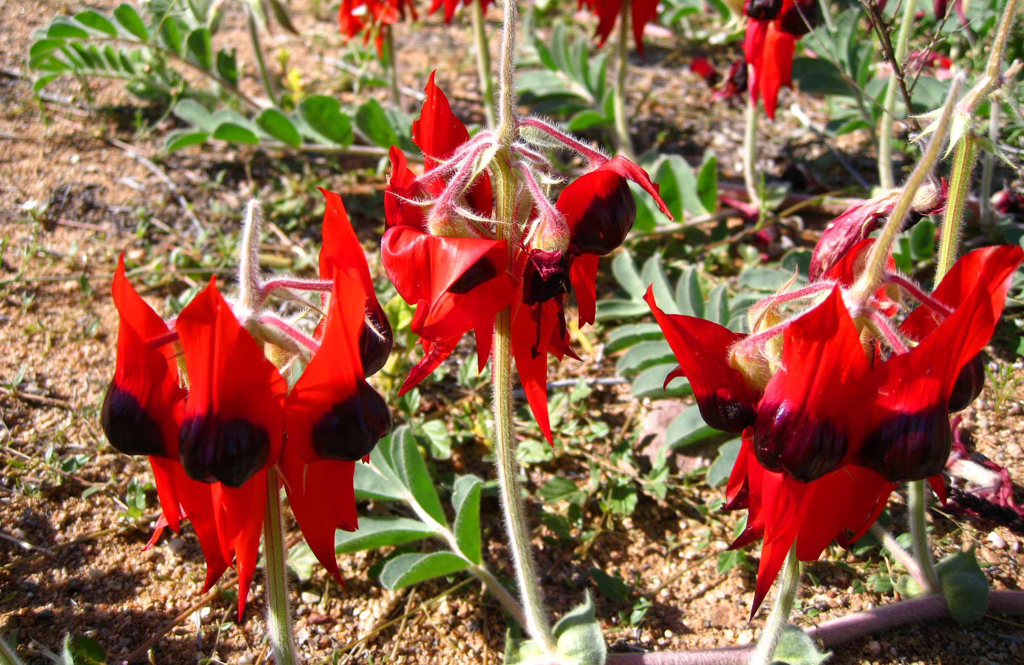 Sturt's Desert Peas, Sturt National Park. Photo: Dina Bullivant