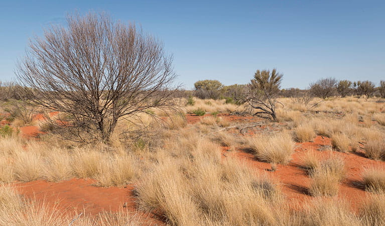 Shrubs, grasses and red sand in Sturt National Park. Photo: John Spencer/DPIE