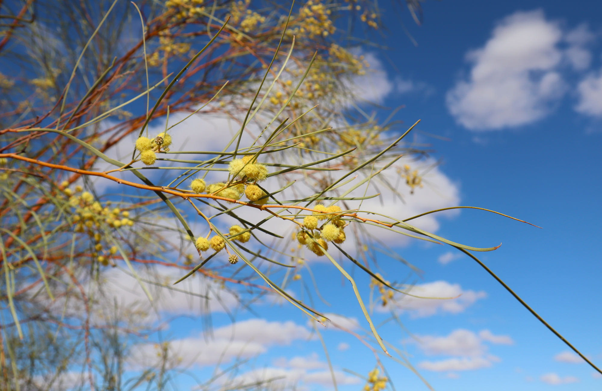 Shrubby wattle against a blue sky. Photo: Amanda Cutlack/DPIE