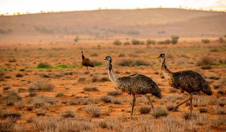 Emus on the red earth next to the Silver City Highway near Tibooburra. Photo: John Spencer/DPIE