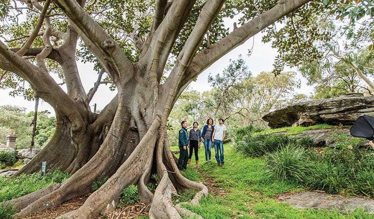 Visitors admiring a towering Moreton Bay fig tree in Nielsen Park. Photo: Simone Cottrell/DPIE