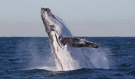 Whale watching off North Head, Sydney Harbour National Park. Photo: OEH.
