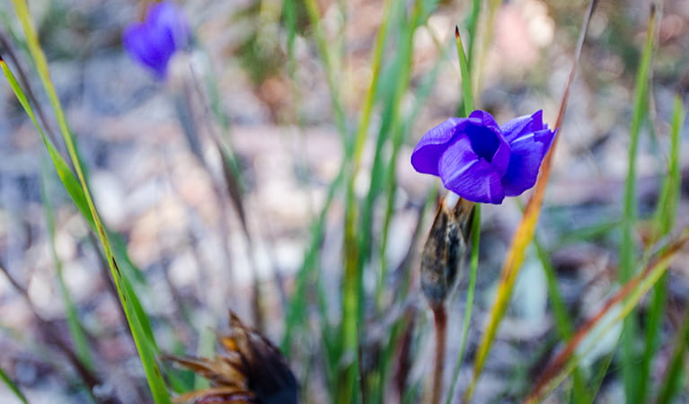 Thirlmere Lakes wildflower, Thirlmere Lakes National Park. Photo: John Spencer
