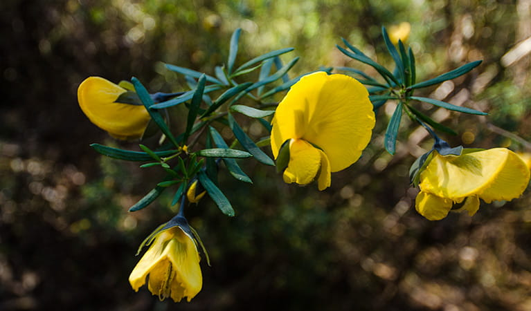 Thirlmere Lakes track yellow wildflowers, Thirlmere Lakes National Park. Photo: John Spencer