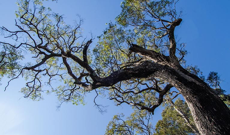 Thirlmere Lakes tree, Thirlmere Lakes National Park. Photo: John Spencer