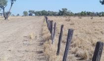 Gidgee fence posts on Darling River Drive, in Toorale National Park. Photo: Chris Ghirardillo