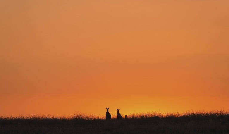 Photo of kangaroo family at sunset, Toorale National Park. Photo: Terry Cooke/OEH