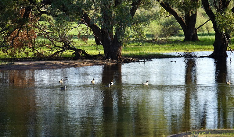 Waterbirds on Warrego Floodplain in Toorale National Park. Photo: Chris Ghirardello © DPIE