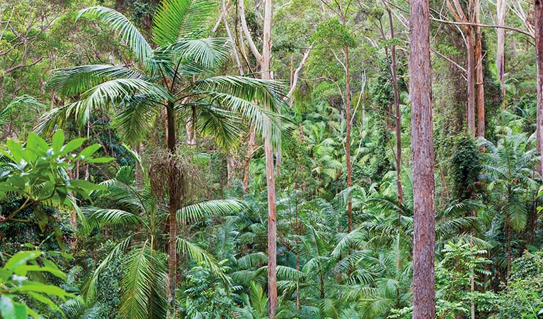 Palm-lined rainforest, Ulidarra National Park. Photo: Rob Cleary